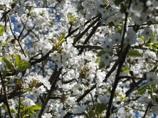 Alison Gracie; White Blossom 2 Alison Gracie, 2017, Original Photography Digital, 10 x 8 inches. Artwork description: 241 White Blossoming tree. Close up of flowers. ...