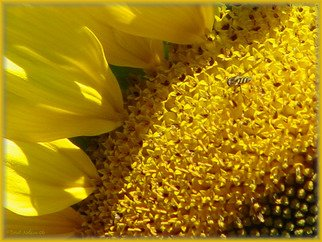 Berit Nelson; Sunflower, 2006, Original Photography Color, 48 x 24 inches.