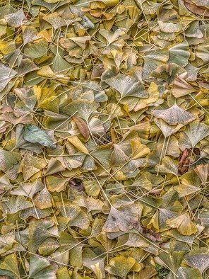 Bruce Lewis; Ginkgo Leaves, 2018, Original Photography Digital, 15 x 20 inches. Artwork description: 241 From the Things That Are Stepped On series. The leaves make a beautiful organic pattern. ...