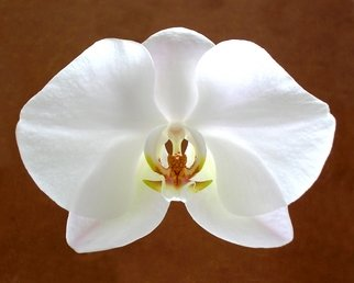 Mike Vukich; Orchid, 2007, Original Photography Color, 24 x 20 inches. Artwork description: 241  White Orchid ...