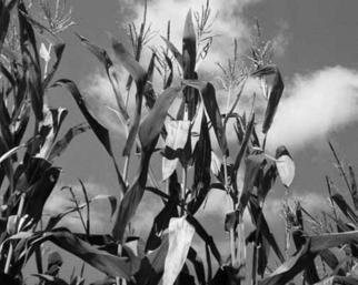 Debra Ann Reilly; Farm Plants, 2005, Original Photography Black and White, 10 x 8 inches. Artwork description: 241 Beautiful corn field.  .  .  TO CONTACT Debra Ann Reilly via tel: 917- 912- 8159 All art works and designs in Debra Ann Reilly' s portfolio are the sole property of Debra Ann Reilly and the works and designs are protected under US copyright law by Copyright (c) from 1980 ...