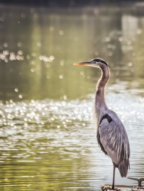 Dennis Gorzelsky; Elegance, 2017, Original Photography Digital, 18 x 24 inches. Artwork description: 241 This beautiful heron was sunning itself on a lake in Colorado. ...