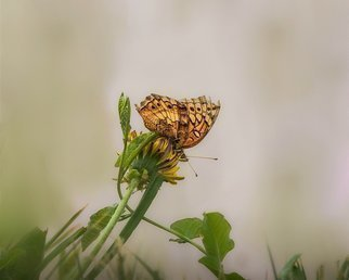 Dennis Gorzelsky; Taking A Rest, 2019, Original Photography Digital, 20 x 16 inches. Artwork description: 241 This butterfly was very active for most of the time after I spotted it, but it decided to take a break and rest on this dandelion. ...