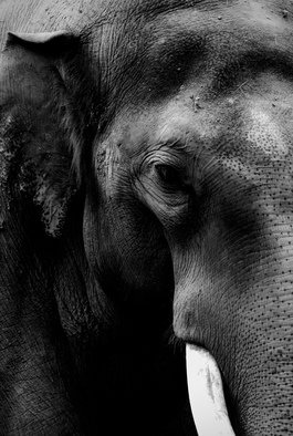 Glen Sweeney; Intense, 2018, Original Photography Black and White, 54 x 79.5 cm. Artwork description: 241 The slow quiet intensity of an elephant is spellbinding. Elephant. ...