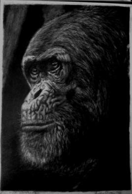 Andrew Dyson; Elder Statesman, 2010, Original Drawing Pencil, 21 x 29.7 cm. Artwork description: 241  Thoughtful portrait of an aged Chimpanzee, intelligence and experience that match the human experience ...