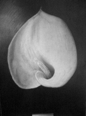 Andrew Dyson; Lily II, 2010, Original Drawing Pencil, 42 x 29 cm. Artwork description: 241  Cala lily, depth, contrast, striking, poingiant ...