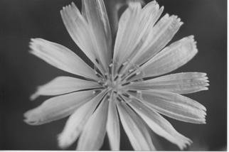 James Peer; Flower, 2003, Original Photography Black and White, 12 x 8 inches.