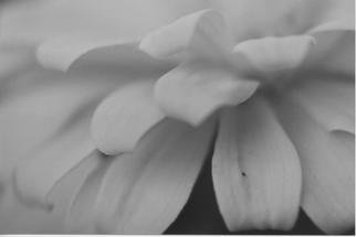 James Peer; Petals, 2003, Original Photography Black and White, 12 x 8 inches.