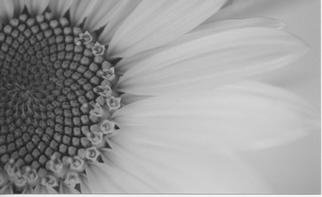 James Peer; Sunflower, 2003, Original Photography Black and White, 12 x 8 inches.