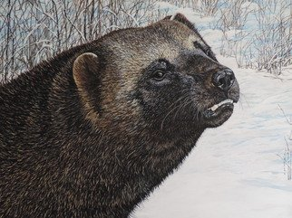 Jeff Cain; The Sound Of Ravens , 2016, Original Painting Other, 46 x 60 cm. Artwork description: 241 Adult male wolverine ( Gulo g luscus) in Willmore wilderness area, WC Alberta, Canada. ...