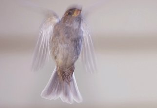 Jim Wright; Flight, 2007, Original Photography Color, 14 x 11 inches. Artwork description: 241  Sparrow in flight ...