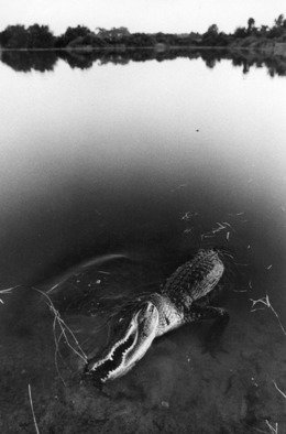 Jim Wright; Gator, 2008, Original Photography Black and White, 14 x 11 inches. Artwork description: 241  alligator  ...