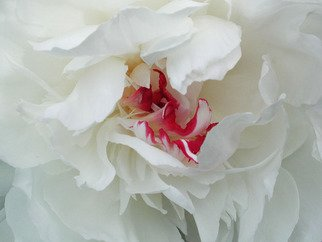 Jim Wright; Peony, 2002, Original Photography Color, 14 x 11 inches. Artwork description: 241   white peony bloom    ...