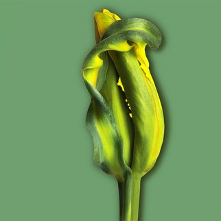 Jo Francis Van Den Berg; Jf Tulip 50, 2018, Original Photography Digital, 50 x 50 cm. Artwork description: 241 Yellow Tulip still closedprinted on HahnemA1/4hle Fine Art Print paperLarger sizes on demand...