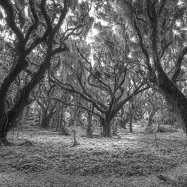 Jon Glaser, , , Original Photography Black and White, size_width{Enveloping_Timber-1439863585.jpg} X 56 inches