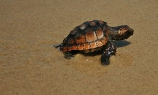 Kristine Caroppoli; Baby Loggerhead II, 2011, Original Photography Color, 8 x 10 inches. Artwork description: 241   Caroppoli, beach, seashore, seaside, coast, shore, coastline, shoreline, sand, saltwater, salt life, island, banks, outer banks, sandbar, dunes, sandbanks, atmosphere, Hurricane Irene, 2011, Ocean, marine, sea, deep- sea, oceanic, water, maritime, nautical, aquatic, oceangoing, seafaring, seagoing, sea life, sea turtle, endangered species, young, baby, sanctuary, refuge, national ...