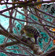 Luise Andersen WOODPECKER  In My Apricot Tree  Digital Art One, 2007
