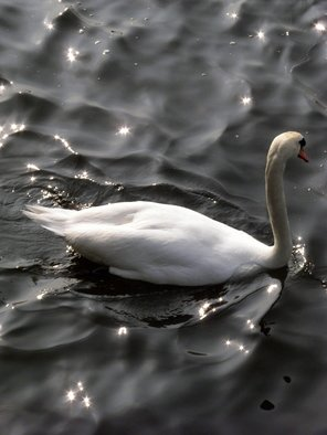 Laurie Delaney; Glistening, 2011, Original Photography Color, 8 x 10 inches. Artwork description: 241 Water, texture, swan.   ...