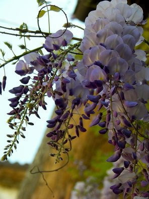 Laurie Delaney; Wisteria, 2011, Original Photography Color, 8 x 10 inches. Artwork description: 241  Wisteria in a small Tuscan village.  ...
