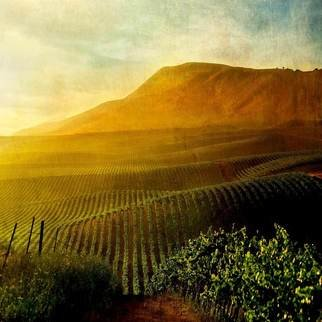 Michael Regnier; Camelot Vineyard, 2010, Original Photography Color, 20 x 20 inches. Artwork description: 241   vineyard, vineyards, fog, trees  vineyard, vineyards, sunset  ...