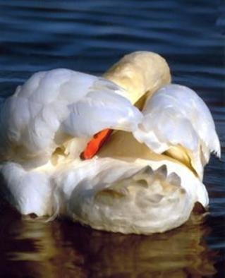 Beatrice Van Winden; Grooming Swan, 2005, Original Photography Color, 22 x 28 inches. Artwork description: 241 Photo on canvas. This photo was scanned on a canvas and varnished by a professional printer. It can be bought streach or not. ...