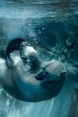 Nancy Bechtol, Polar Bear Blue  Zoo Beings..., 2015, Original Photography Other, size_width{Polar_Bear_Blue__Zoo_Beings_series-1450185939.jpg} X 17 inches