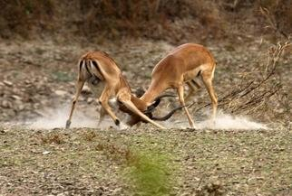 Paula Durbin; Fighting Impala, 2003, Original Photography Color, 14 x 11 inches. Artwork description: 241 These young bucks were practising for dominance next year. Zambia. Canvas Print.  May be printed in other sizes and processes....