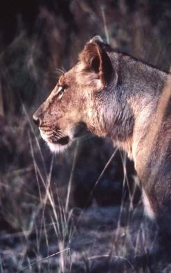 Paula Durbin; Lioness Profile, 2001, Original Photography Color, 11 x 14 inches. Artwork description: 241 A Fresson print. Zambia. May be printed in other sizes and processes....
