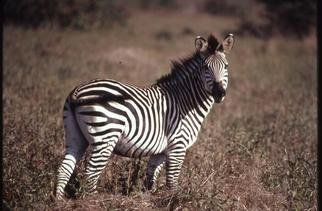 Paula Durbin; Zebra Looking, 2001, Original Photography Color, 14 x 11 inches. Artwork description: 241 A Fresson print.  Taken in Zambia. May be printed in other sizes and processes....