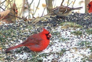 C. A. Hoffman, 'Cardinal Feast ', 2008, original Photography Color, 20 x 16  inches. Artwork description: 13395  Part of my Cardinal series ( no pun intended) .  These guys were hanging around, so I got busy.  It' s not everyday you get an opportunity like this shot. ...