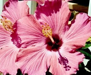 C. A. Hoffman; Pink Telescope, 2019, Original Photography Color, 20 x 16 inches. Artwork description: 241 This is a photograph of one of my favorite flowers, the Hibiscus. The colors were fantastic and were screaming at me to take their picture ...