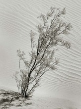 Artist: Ron Guidry's, title: Mesquite and Dunes, 2010, Photography Black and White
