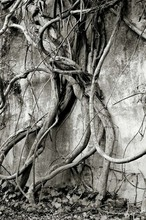 Artist: Ron Guidry's, title: Vine Dance, 2010, Photography Black and White