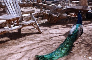 Susan Brannon; Peacock, 2012, Original Photography Color, 11 x 14 inches. Artwork description: 241  Peacock, color, photography, chairs, outdoors, shadows, light, feathers, dancing, southwest, New Mexico, susan brannon, ...