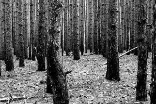 Stef Dorin; Pine Forest, 2015, Original Photography Black and White, 20 x 30 inches. Artwork description: 241 Selling limited edition photographs- each print is signed and numbered verso and delivered unframed and unmated. I ship all prints, ( along with a certificate of authenticity) , rolled, in a heavy duty shipping tube fully insured. If you like to see more of my work please visit