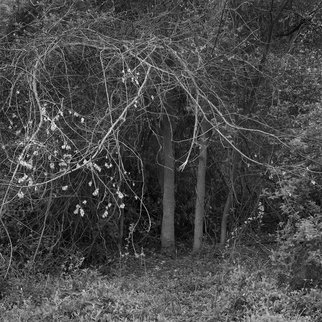 Steven Brown; Arc Of The Tree, 2012, Original Photography Black and White, 16 x 16 inches. Artwork description: 241   trees, black & white, nature, fine art, fine art photography,   ...