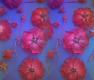 Tamarra Tamarra; Red Roses, 2017, Original Photography Color, 14 x 11 inches. Artwork description: 241 roses, flowers, floral, botanical, color, blue, botany, nature, petals, stems, rose buds, rose, photography, photograph, red roses, color photography, floral photography, flower photography, pink, ...