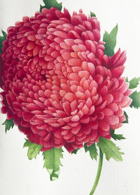 Tatiana Azarchik; Chrysanthemum, 2014, Original Watercolor, 125 x 174 mm. Artwork description: 241 Chrysanthemums, also known asmums , are one of the prettiest varieties of perennials that start blooming early in the fall.  This is also known as favorite flower for the month of November.  Chrysanthemums symbolize optimism and joy.  I used coloured pencils and watercolor.  All of my works are ...