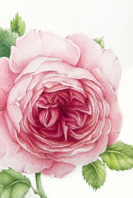 Tatiana Azarchik; David Austin Rose, 2015, Original Watercolor, 99 x 147 mm. Artwork description: 241 Luxury David Austin s English roses have won many hearts of gardeners from around the world thanks to theirs heady scent of dog- rose and a variety of palette colors.  These old garden beauties are definitely one of my all time favorite flowers.  I used coloured pencils ...