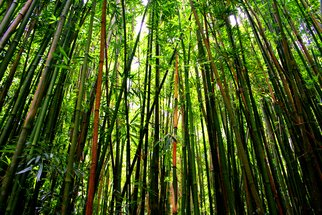 Tiger Lily Jones; Into The Bamboo Forest, 2010, Original Photography Color, 12 x 8 inches. Artwork description: 241 What surprises await us inside such  an enchanted place?       Archival Fine Arts Photo PrintFramed and Shipped Ready to Hang Framed with archival mats and Acrylic ( no glass) Frame is approx. 10 x 14 outside measurements.Also Available in other sizes and editions.International Orders: Buyer Responsible ...