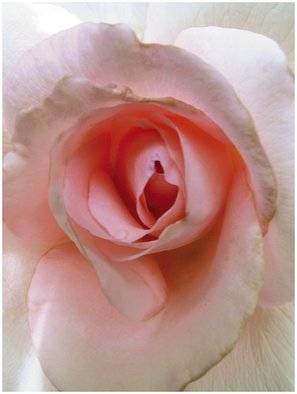 Russet Andrew; Rose Of Love, 2007, Original Photography Color, 30 x 40 inches.