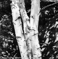 Warren Kornberg, Birches, Still Life, $ 158