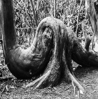 Artist: Warren Kornberg, Artwork Title: Sstranglehold, 2014-12-26. Photography Black and White, Trees, $131