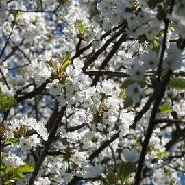 Alison Gracie: 'White Blossom 2 Alison Gracie', 2017 Digital Photograph, Floral. Artist Description: White Blossoming tree. Close up of flowers. ...