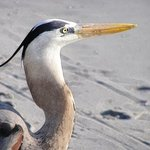 Great Blue Heron , Linda Tenenbaum