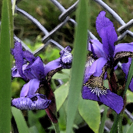 Linda Tenenbaum: 'Iris Ecstasy', 2007 Other Photography, Floral. Artist Description:  Beautiful Irises grow against a chain link fence in the park.The deep colors in this giclee print bring the flowers to life again. ...
