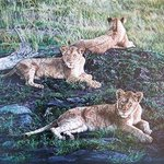 Just Lion Around By Judith Smith Wilson