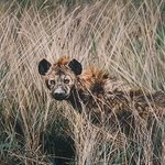 Lake Tuskanas Hyena By Judith Smith Wilson