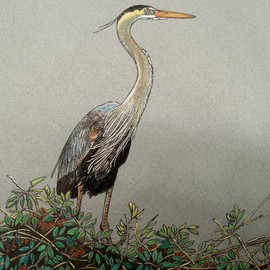 Magnificient Blue Heron  By Judith Smith Wilson