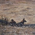 Wild Dogs Of Africa, Judith Smith Wilson